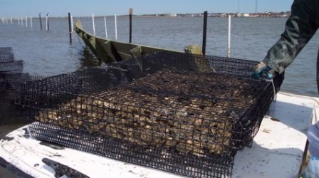 oyster_cage_475